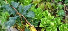 Niki's top 5 vegetables for shade