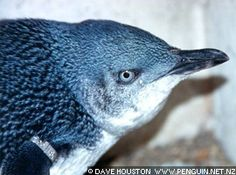 """Little Blue penguin: this is the smallest, about 13 """" in height, up to 3 lbs."""