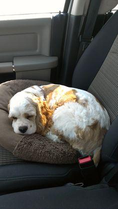 Sleepy cocker spaniel!