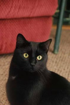 Bombay Cats; this looks like my Coco. I miss him.