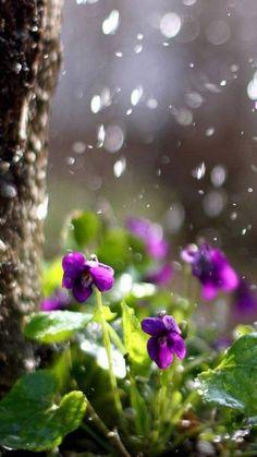 purple violet flowers in the rain. I Love Rain, No Rain, Purple Flowers, Wild Flowers, Beautiful Flowers, Iphone 5 Wallpaper, Phone Lockscreen, Desktop Wallpapers, Sweet Violets