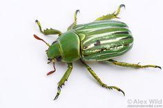 Chrysina gloriosa - Glorious Beetle.  Huachuca Mountains, Arizona, USA.  filename: gloriosa6