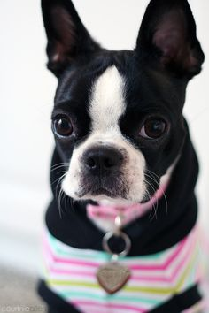 Things we adore about the Bright Boston Terrier Puppies Terrier Breeds, Bull Terrier, Dog Breeds, Terrier Dogs, Terrier Mix, White Terrier, I Love Dogs, Cute Dogs, Boston Terrier Love