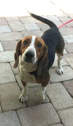Beagle Dog For Adoption In Tampa Fl Adn 701660 On Puppyfinder