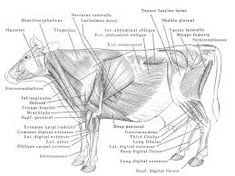 1917 Vintage Cow Muscle Anatomy Chart | Pinterest | Muscle anatomy ...