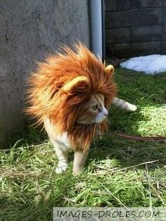 Funny pictures about I'm a lion. Oh, and cool pics about I'm a lion. Also, I'm a lion photos. Funny Animal Pictures, Cute Funny Animals, Funny Cute, Funny Pics, Funniest Animals, Hilarious, Videos Funny, Crazy Cat Lady, Crazy Cats