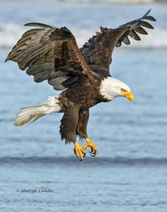 Bald Eagle over the surf in the Pacific Northwest US - by Sharon Landis Beautiful Birds, Animals Beautiful, Eagle Wallpaper, Eagle Painting, Eagle In Flight, Eagle Pictures, Birds Of Prey, Colorful Birds, Bird Watching