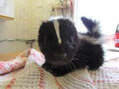Baby Skunks Cute factor: These guys might get a little stinky from time to time, but that can be excused because…just look at that face!