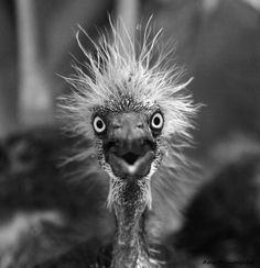 Startling! Albert Einstein; back as a bird. Tri-colored Heron chick. Taken at the rookery at Alligator Land. Orlando, Florida. °