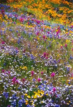 Table Mountain wildflowers near Oroville in northern California by Judy & Paul, Photographers