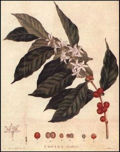 Coffee Plant. I want a watercolored tattoo of this
