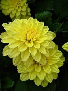 Lemon Yellow Dahlias