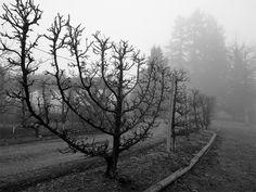 Spaljerade äppleträd som insynsskydd / staket.