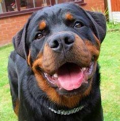 How can anyone not love Rottweilers
