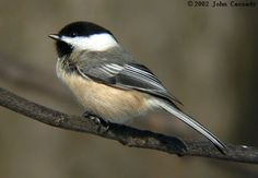 One of my most favorite little birds. They are so friendly and fun to watch at the feeder 1BCCH02302.jpg (640×443) black capped chicadee