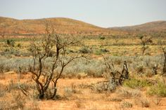 Yunta region: Blue bushes in the Australian Outback Travel photo of the drive Arkaroola (Gammon Ranges)- Balcanoona - Frome Downs - Yunta, South Australia  Reisefoto von der Route Arkaroola (Gammon Ranges)- Balcanoona - Frome Downs - Yunta, Südaustralien (South Australia)