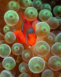 The reef dwelling clownfish lives in a near perfect symbiotic makes its home within sea anemone. Covered in a thin, mucus-like membrane which protects the clownfish it is able to hide from larger predators within the stinging tentacles of the sea anemone. In turn it chases away poly-eating fish and keeps the anemone constantly fertilized for a near perfect symbiotic relationship.