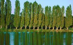 Rüya Tabirleri | Rüyada Kavak Ağacı Görmek