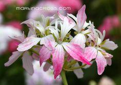 Pelargonium Peppermint Star