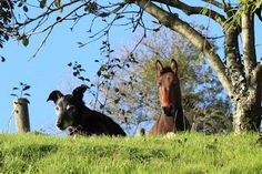 Can mules and dogs get along? | The Three Muleteers
