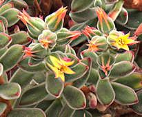 Great site to learn about succulents:  http://www.succulent-plant.com