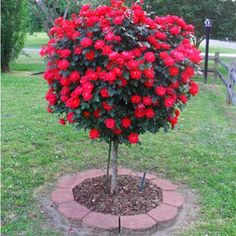 Red Knockout Rose Trees for Sale - Brighter Blooms Nursery