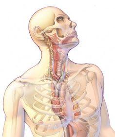 1000+ images about Anatomy on Pinterest   Nerve anatomy ...