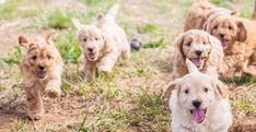 An ethical breeder of cross-bred dogs since 1994 Labradoodle, First World, Pets, Animals, Animals And Pets, Animales, Animaux, Labradoodles, Animais