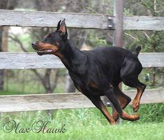 Max Hawk Jake still guarding the yard today! LOL #Dobermanpinscher #Doberman