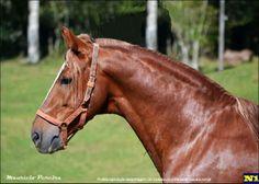 Mangalarga Marchador stallion Antonello Ribeiro