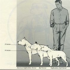 Difference between American Staffordshire Terrier and Staffordshire Bull Terrier