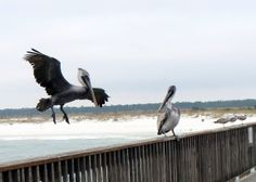 Gulf Shores State Park Pier - Pelicans