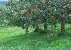 фруктовые деревья для сада фото | Photo-Bonus.ru