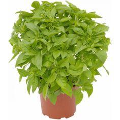 Basilika Pesto Lajikkeella on voimakkaan aromaattiset lehdet ja kauniit, valkoiset kukat. Viihtyy valoisalla tai puolivarjoisalla paikalla ravinteikkaassa, kosteassa kasvualustassa. Vältä alle +15 °C:n lämpötiloja. Voidaan syödä tuoreena, pakastettuna tai kuivattuna. Tuotteen sesonki alkaa: Toukokuu Tuotteen sesonki loppuu: Elokuu Sopii mainiosti moniin eri ruokiin, erityisesti tomaatin kanssa. Tiesitkö, että tuoreesta basilikasta saa herkullista teet Parsley, Herbs, Plants, Herb, Plant, Planets, Medicinal Plants