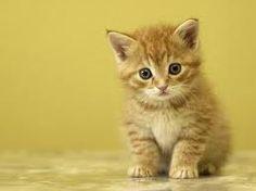 gato amarillo,.tiernoaparece cariñoso y poco agresivo <3