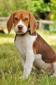Are you interested in a Beagle? Well, the Beagle is one of the few popular dogs that will adapt much faster to any home. Whether you have a large family, p Corgi, Beagle Puppy, I Love Dogs, Cute Dogs, Awesome Dogs, Perros Chow Chow, Puppy Eyes, Training Your Dog, Crate Training
