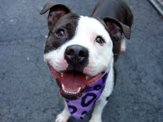 TO BE DESTROYED - FRIDAY - 5/23/14 Manhattan Center   FARGO ND - A1000043  *** SAFER: EXPERIENCED HOME ***  MALE, WHITE / BR BRINDLE, PIT BULL MIX, 2 yrs STRAY - STRAY WAIT, NO HOLD Reason STRAY  Intake condition NONE Intake Date 05/16/2014, From NY 10474, DueOut Date 05/19/2014,  https://www.facebook.com/photo.php?fbid=807245499288331&set=a.617938651552351.1073741868.152876678058553&type=3&theater