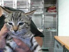 A130843 - URGENT - Pasadena Animal Control and Adoption American Pit Bull Terrier - ADOPT OR FOSTER - Female Domestic Medium Hair KITTEN