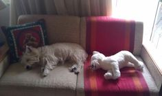 Aggie napping with westie toy