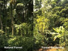 Permaculture comparison- Natural forest vs Forest gardening
