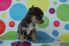 Chihuahua puppy!!:)