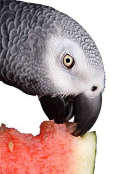 It can be difficult to get Parrots to try new foods, especially ones that are good for them! Liz Wilson has over 40 years experience keeping and working with Parrots and has persuaded many Parrots to eat their veggies. Her most important advice is to keep Parrot Pet, Parrot Toys, Parrot Food Recipe, Budgies, Parrots, Amazon Parrot, African Grey Parrot, Conure, Bird Food