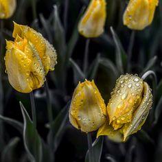 Sarı Laleler ve Yağmur