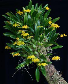 Bulbophyllum sp. | Species from Vietnam. Individual flower s… | Thomas Ditlevsen | Flickr