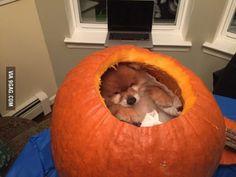 Tiny Pomeranian Cheezit inside a pumpkin