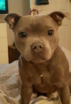 The cutest puppy pitbull/boxer mix