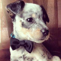 Blue heeler pup <3