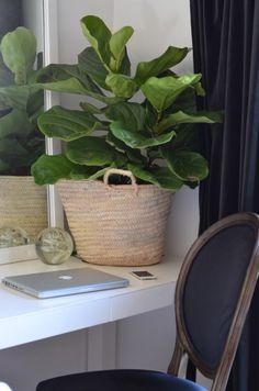 fiddle leaf fig, curvy black chair with white parson desk, black velvet drapes, white walls