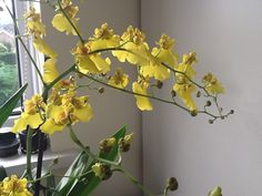 Finally it flowered again ... Butterfly orchid in Clyro