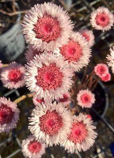 Actinodium cunninghamii found only in SW Australia. Great garden plant for sandy soils.